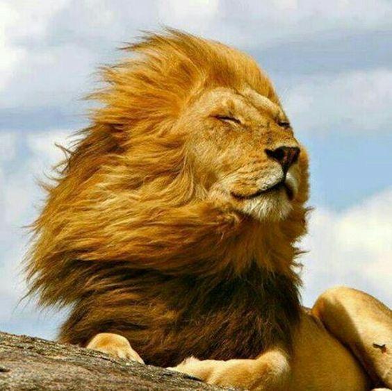 blog yellow lion